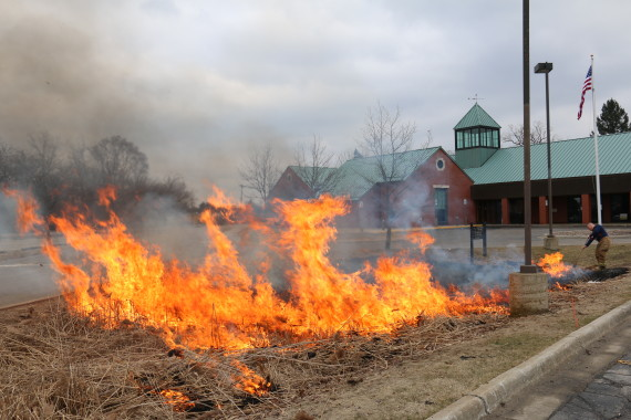 Fired up over phragmites