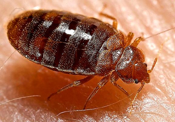 If the bedbugs bite, bite 'em back.