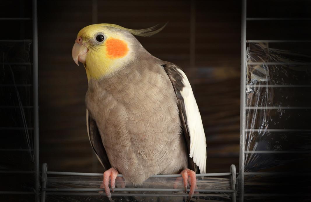 sultan-k-cockatiel