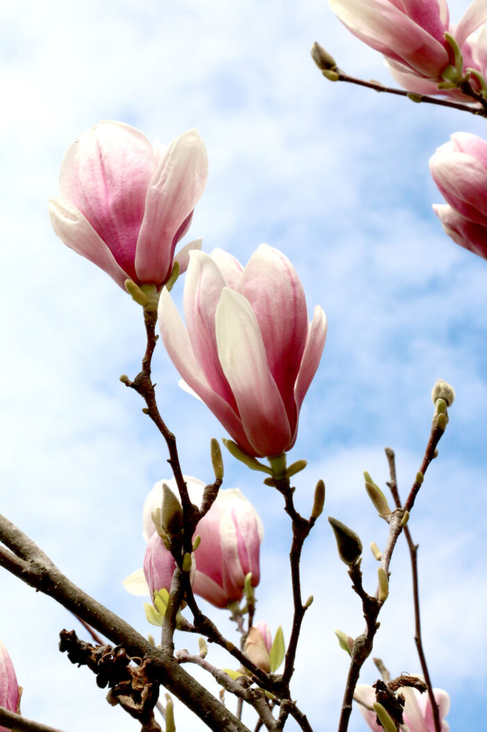 Real magnolia