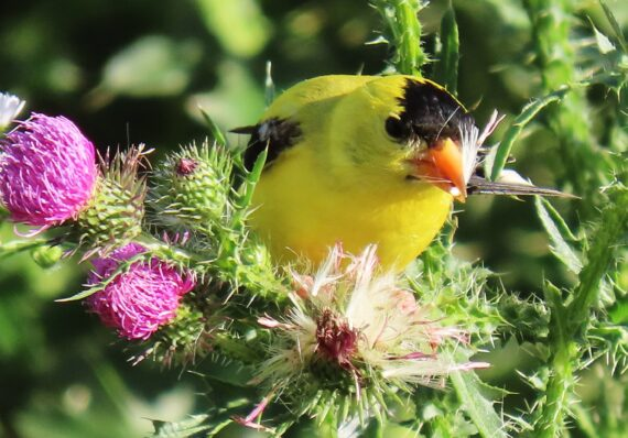 A thirst for thistles